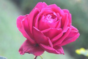 Роза Никитский ботанический Сад Экскурсии по Крыму